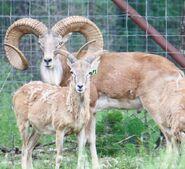 Urial Ram and Ewe