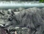 AFO Wolf