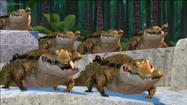 AHKJ Crocodiles