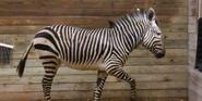 Blank Park Zoo Zebra