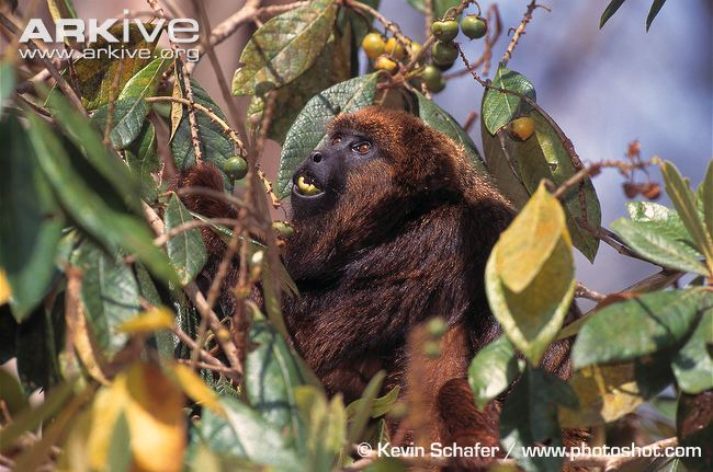 Brown Howler