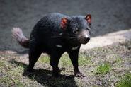 Devil, Tasmanian