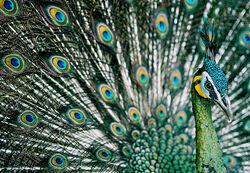 Green Peafowl, Hanoi.jpg