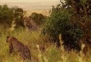 HugoSafari - Leopard04