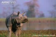 Indian-rhinoceros