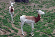 Male and female dama gazelles