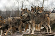 Pack of Himalayan wolves