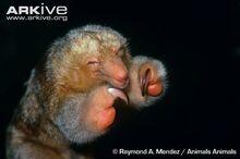 Pygmy-anteater-close-up.jpg