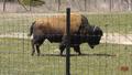 Toronto Zoo Bison