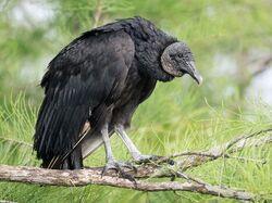 American Black Vulture.jpg