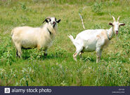 Billy and Nanny Goats
