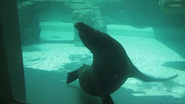 Cincinnati Zoo Sea Lion (V2)