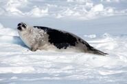 Harp Seal Adult