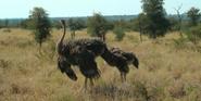 KNP Ostriches