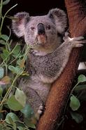 Koala (Animals)