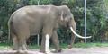 LA Zoo Indian Elephant