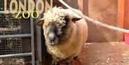 London Zoo Sheep