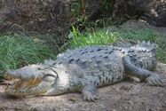 Nile-2-american crocodile