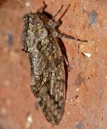 Orange-wing Cicada (Platypleura haglundi) (15880396994)