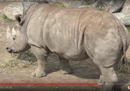 Tronto Zoo White Rhinoceros