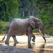 African Forest Elephant (V2)