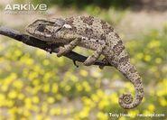 Chameleon, flap-necked