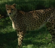 Dickerson Park Zoo Cheetah