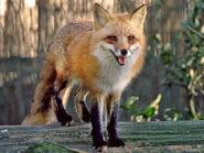 Fox, Red