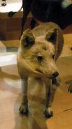 Honshu-wolf2