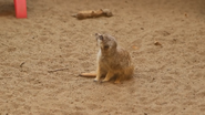 Kansas City Zoo Meerkat