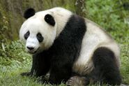 Male Giant Panda