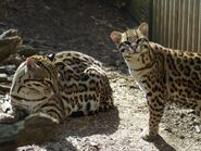 Male and Female Ocelots