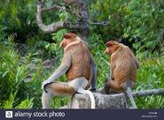Male and Female Proboscis Monkeys