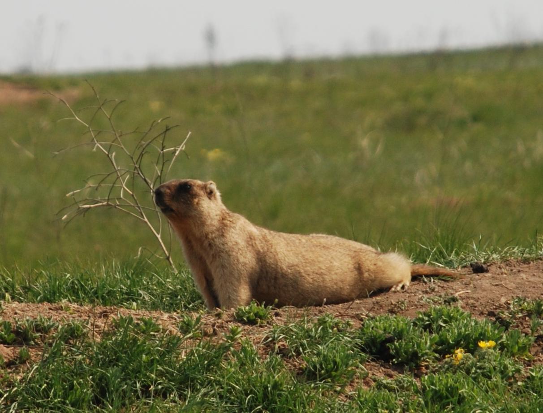 Bobak Marmot