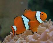 Percula Clownfish.jpg