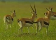 SRNGTI Gazelles