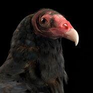 Turkey-vultures thumb.ngsversion.1492538403138.adapt.1900.1