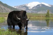 Yak-in-a-lake