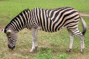 Chapman s zebra Plzen 2nd September 2012 a.jpg