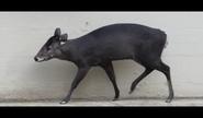 Cleveland Zoo Musk Deer