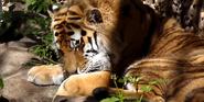 Denver Zoo Siberian Tiger