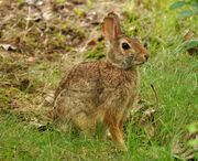 Eastern cottontail.jpg