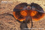 Frilled-lizard-threat-display---expanded-frill-jumping-and-hissing