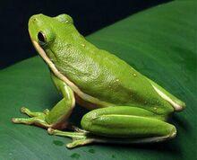Green-Tree-Frog-Photos.jpg