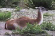 Guanaco in miami zoo