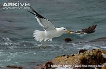 Kelp-gull-in-flight.jpg