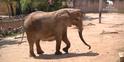 Lisbon Zoo African Bush Elephant