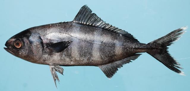 Pilot Fish