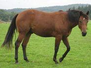 Quarter Horse 6382270