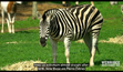 Werribee Open Range Zoo Zebra
